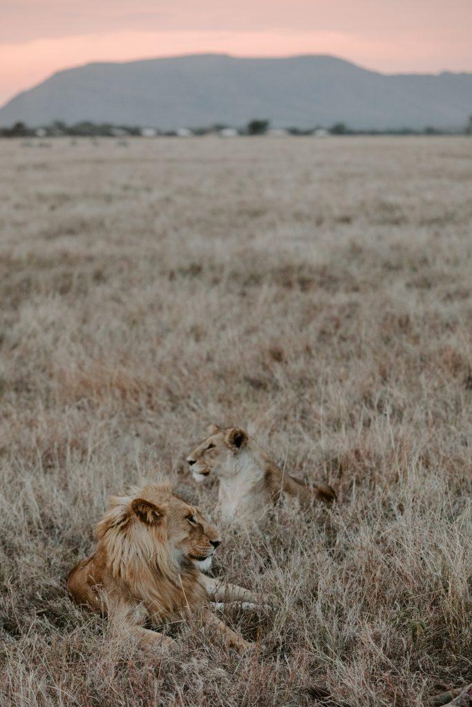 Лъвове в Танзания